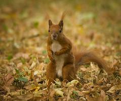 Surprised squirrel (hedera.baltica) Tags: squirrel redsquirrel eurasianredsquirrel wiewiórka wiewiórkapospolita sciurusvulgaris