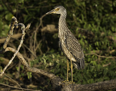 Immature Yellow-crowned Night-Heron. (river4999) Tags: bittern wheelernationalwildliferefuge decatural morgancountyal