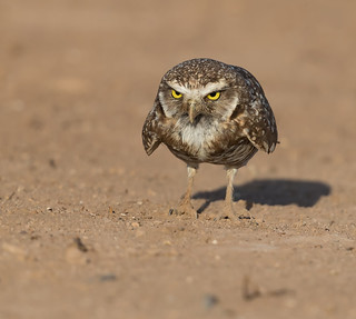 Burrowing Owl, gettin all