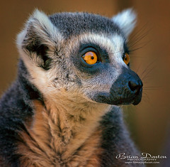 Lemur Eyes (brian.m.denton) Tags: ringtailedlemur lemur animal primate mammal ambereyes briandenton timecapturer wwwtimecapturercom sonya850dslr sony70400mmgssmii
