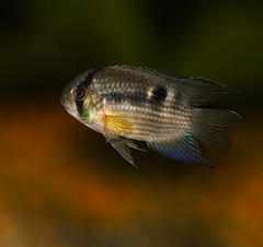 Keyhole cichlid (Bojan Žavcer) Tags: cleithracara maronii cleithracaramaronii keyhole cichlid keyholecichlid fish animal macro closeup sony ilce7r fe 90mm f28 g oss ngc greatphotographers