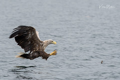 White-Tailed Sea Eagle (Karen Miller Photography) Tags: eagle whitetailed sea whitetailedseaeagle birdofprey mull flight flying bird mullcharters