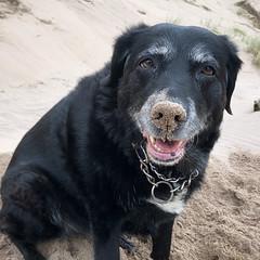 I have a little sand where? (Pog's pix) Tags: poppy fun sand nose funny animal pet beach montrose angus coastal scotland dog