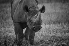 Yorkshire Wildlife Park ,28-7-2018 (Bri Hall) Tags: zoo yorkshirewildlifepark ywp rhino blackrhino