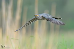 Kukułka, Common Cuckoo (Cuculus canorus) ... (Rafal Szozda) Tags: cuckoo birds nature animals wildlife flight colors meadow nikon nikkor lens nikkor30028vr d500 lubuskie poland