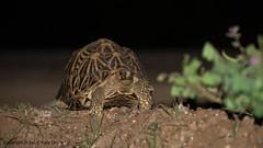 A Threatened Star, the Indian Star Tortoise (Ian.Kate.Bruce's Wildlife) Tags: indianstartortoise geocheloneelegans testudinidae tortoise reptile wildlife nature ianbruce katebruce srilanka endangered