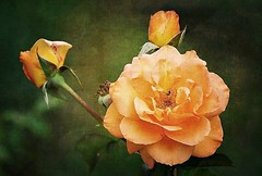 Une branche de roses (mamietherese1) Tags: artdigital texture exoticimage netartii world100f earthmarvels50earthfaves