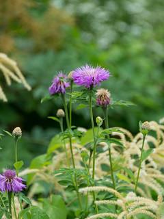 Psephellus dealbatus (Asteraceae)