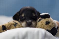 Toddy (nnessies) Tags: dog babydog littledog littleangel minimalist photo shot animal canon angel puppy 50mm bokeh bokehefect efeitobokeh