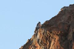 Falco biarmicus (Lanner Falcon) (Arthur Chapman) Tags: falcon raptor falco biarmicus falcobiarmicus lannerfalcon tuligamereserve tuli botswana taxonomy:kingdom=animalia taxonomy:phylum=chordata taxonomy:class=aves taxonomy:order=falconiformes taxonomy:family=falconidae taxonomy:genus=falco taxonomy:binomial=falcobiarmicus taxonomy:common=lannerfalcon geocode:accuracy=100meters geocode:method=gps geo:country=botswana geo:region=africa