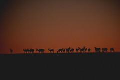 Springbok  Silhouette (iamfisheye) Tags: 2018 olympus lens namibia namibiantrackstrails palmwag zd50200mm mkii zuiko 50200mm exodus july 4wddesertsafari kit zd em1 camera