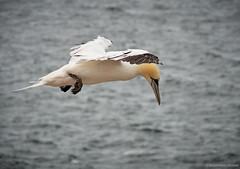 Helgoland2018 15 (michaelbeyer_hh) Tags: green gannets helgoland lummenfelsen vögel birds nature outdoor