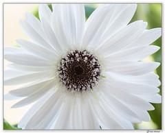 (Ken Mickel) Tags: chrysanthemum floral flower flowers flowersplants kenmickelphotography plants blossom blossoms botanical closeup garden gardens nature photography
