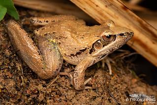 Ptychadena anchietae - Plain Grass Frog