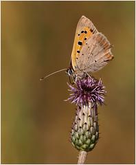 Small Copper (Antony Ward) Tags: