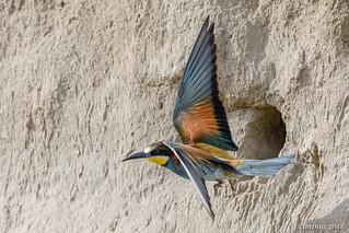 Merops apiaster (European bee-eater, Gruccione comune).