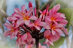 Franchipani (Uhlenhorst) Tags: 2018 australia australien plants pflanzen flowers blumen blossoms blüten travel reisen