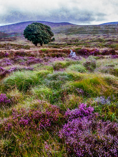 Heather on Wicklow Mountains