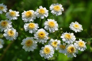 Pyrethrum (Chrysanthemum parthenium) / Пиретрум (Хризантема девичья)