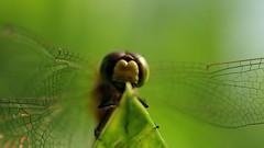 frame-000021 (Beaver-) Tags: macro dragonfly pickle tomato flower