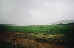 in iceland, part four (manyfires) Tags: film analog iceland europe travel vacation landscape nikonf100 35mm field rural sheep moody stormy cloudy mountains fjord fence ovine graze grazing