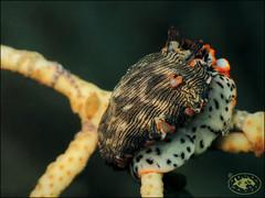 Nudibranch (Dermatobranchus dendronephthyphagus) (Brian Mayes) Tags: 1976 littlebeach nelsonbay australia nudibranch dermatobranchusdendronephthyphagus underwater scuba diving canon g16 canong16 brianmayes