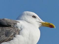 Proud Gull (BrigitteE1) Tags: gull möwe porträt portrait holland vogel bird specanimal