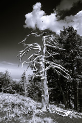 Wooden Ghost (Mister Electron) Tags: italy nikond800 sicily island islands tree dead volcano volcanic destruction toned bw blackandwhite monochrome landscape bare bleached stark contrast strongcontrast mountetna mtetna