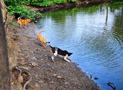 ,, Mamas Mad ,, (Jon in Thailand) Tags: dog dogs k9 k9s jungle reflection swamp runningdog mama rocky legsthezoomer dogtails dogears actiondogs themonkeytemple nikon nikkor d300 175528 green yellow 3dogs littledoglaughedstories