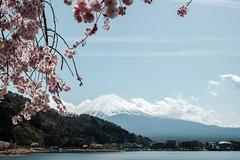 20180413 Mount Fuji, Sakura 2 (chromewaves) Tags: fujifilm xt20 xf 1855mm f284 r lm ois lake kawaguchiko japan mount fuji kawaguchi
