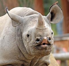 Black Rhino Krefeld BB2A6213 (j.a.kok) Tags: animal mammal zoogdier dier krefeld rhino rhinoceros blackrhinoceros blackrhino zwarteneushoorn neushoorn puntlipneushoorn