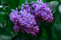 Macro lilac III (Ulchiva) Tags: lilac spring background flowers flower purple lilacs beautiful bush violet nature blossom blooming fresh branch plant floral garden green summer texture season macro petals scent beauty bright color botany rain bloom bunch syringa abstract soft lavender macrography macroflowerlovers waterdropsmacros closeup