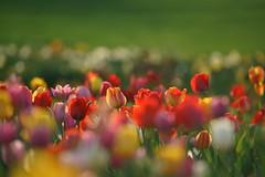 Bavarian Keukenhof - Tulip Field in Ebersberg, Bavaria (W_von_S) Tags: tulips tulpen feld field ebersberg bavaria bayern farben farbig color colorful blumen flowers blüten blossoms natur nature wvons werner sony sonyilce7rm2 tele depthoffield tiefenschärfe focus fokus licht light outdoor keukenhof holland