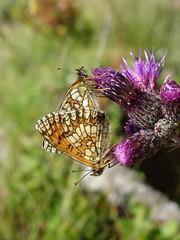 love is in the air (isco786) Tags: schmetterlinge butterfly insects insekten macro makro wiesenbewohner
