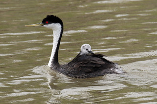 Western Grebe and her Chick.....6O3A7543A