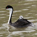 Western Grebe and her Chick.....6O3A7543A (dklaughman) Tags: bearrivermigratorybirdrefuge westerngrebe grebe bird utah