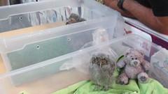 4 week old Western screech owl (billnbenj) Tags: barrow cumbria owl raptor birdofprey westernscreechowl snowyowl