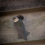 Adult Violet-Green Swallow bringing food to her nest for the babies. thumbnail