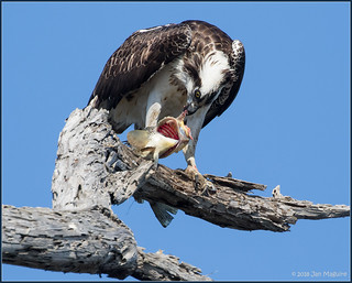 Osprey with Bass Dinner 8685