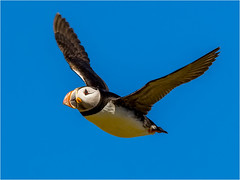 Puffin (Paul West ( pwest.me )) Tags: nature bird sealife sea northumberland farneislands naturelovers wildlife wildlifepics macro wildlifepictures wildlifephotographer wildlifephotography naturephotography naturepictures naturephotographer birdphotography wildlifephoto animal naturephotoportal poultonphotosoc photography wildlifeplanet intothewild wildlifeperfection naturephoto naturepics naturepic followme naturecollection natureseekers