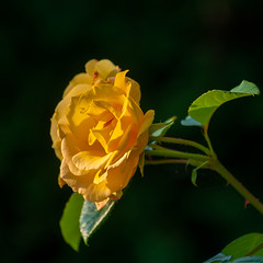 Greetings to the Sun (Maryna K.) Tags: rose yellow flower nature