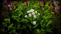 Serenity in the Garden (Bob's Digital Eye) Tags: bobsdigitaleye canon efs24mmf28stm july2018 t3i flicker flickr flowers gardenflowers serene white softfocus garden
