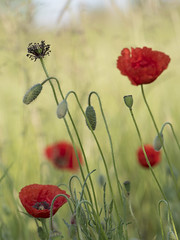 A tous les stades * (Titole) Tags: poppies seeds stamen buds titole nicolefaton