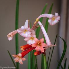 Cyrthantus (Ifafa lilies) (Johan Grobbelaar) Tags: cheirdopsisspstack ifafalelie oranje pink