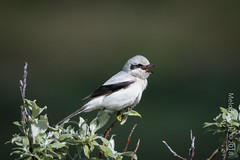 Northern Shrike (karenmelody) Tags: alaska animal animals bird birds lanidae laniusborealis northernshrike passeriformes usa vertebrate vertebrates nearnome passerine passerines perchingbirds
