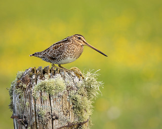 Snipe on lichenous post