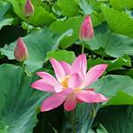 early lotus thumbnail