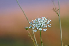 Queen Ane's Lace on a misty morning (epicDi) Tags: flowers wildflowers sunrise pastels