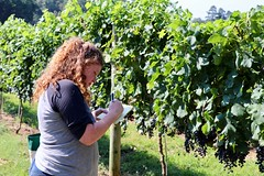 IMG_9268 (UGA CAES/Extension) Tags: vineyard wine winery stonepilevineyard viticulture viticultureteam northgeorgia winecountry ugacooperativeextension uga extension grapes ugaextension cainhickey