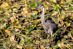 Great Blue Heron (mayekarulhas) Tags: philadelphia pennsylvania unitedstates us greatblueheron johnheinznaturereserve canon canon500mm canon1dxmark2 bird avian wildlife wild